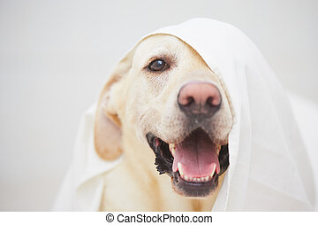 Naughty dog - Labrador retriever is playing with white bed...