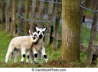 Naughty Lambs