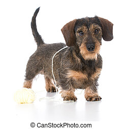 naughty miniature dachshund