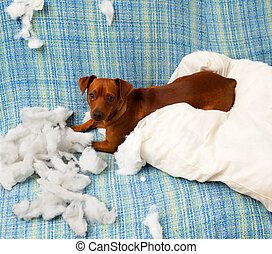 naughty playful puppy dog after biting a pillow tired of ...