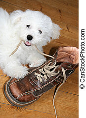 Naughty puppy eating shoelaces (bichon frise)