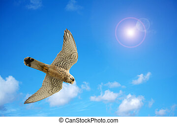 Naumanni hawk under a bright sun