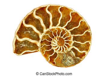 nautile, fond, frappant, isolé, unique, fossile, blanc