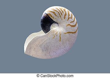 nautile, shell., isolé, pompilius