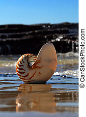 Nautilus - A nautilus shell reflicting on the foreshore of a...