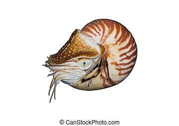 nautilus, (nautilus, aislado, pompilius), chambré, blanco