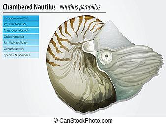 Nautilus -Nautilus pompilius - Illustration of a chambered...