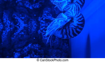 Nautilus pompilius swimming in aquarium. Blue bright light