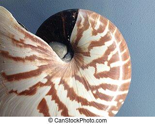 nautilus shell whole
