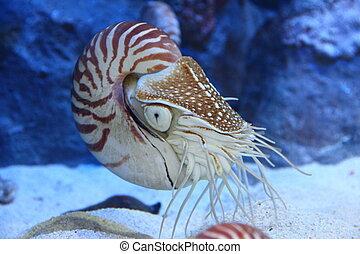 nautilus, tentáculos, extendido