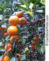 Navel Orange Tree - shot of several navel orange hanging in...