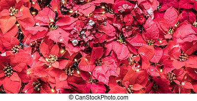 navidad, planta, exhibiciones, flor de nochebuena, hojas