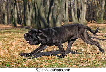 Neapolitan Mastiff running in the woods