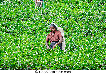 NEAR MOUNT PIDURUTALAGALA, SRI LANKA, DECEMBER 8, 2011. Tea...