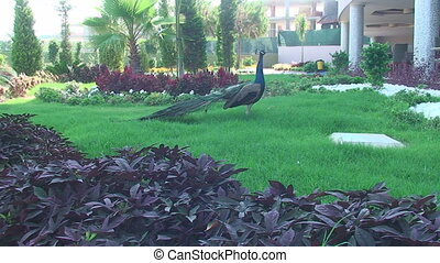 near the hotel on the lawn stands a peacock