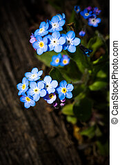 Forget-me-not - Nearly forgotten blooming little Forget-me-...
