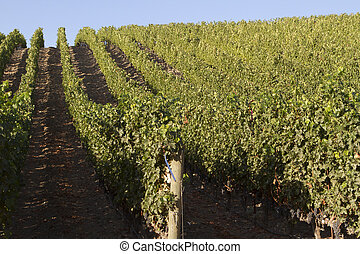 Neat Rows in a Vineyard