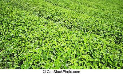 Neat Rows of Bushes on Traditional Thai Tea Plantation - ...
