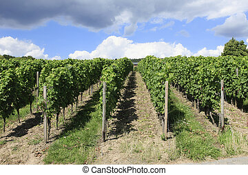 Neat rows of Grape vines