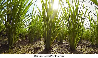 Neat Rows of Lowland Rice Stalks in the Muddy Soil