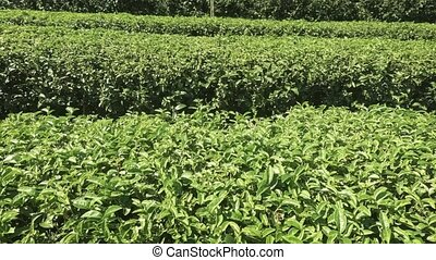 Neat Rows of Tea Bushes on Chiang Mai Farm. Ultra HD stock ...