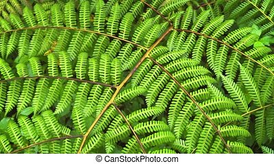 Neatly Spaced Leaves of a Tropical Fern in Closeup. FullHD...