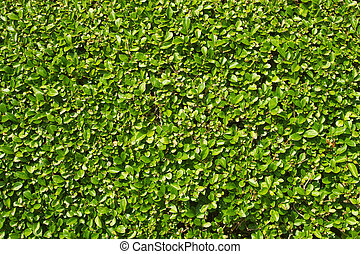 Neatly trimmed garden hedge green leaves.