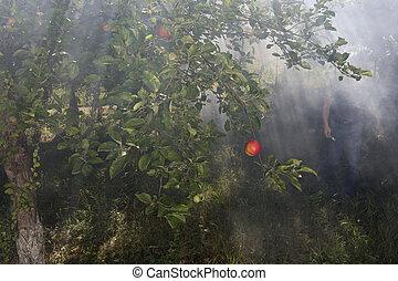 nebbia, e, mela, giardino, in, il, soleggiato, day.