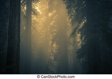 nebbia, in, foresta redwood