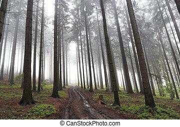 nebbioso, conifero, foresta
