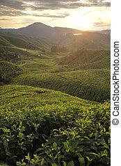 nebbioso, fattoria, tè, mattina, malaysia, altopiano cameron