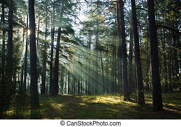 nebbioso, vecchio, foresta, alba, nebbioso