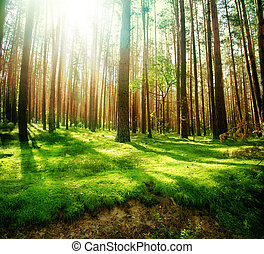 nebbioso, vecchio, foresta