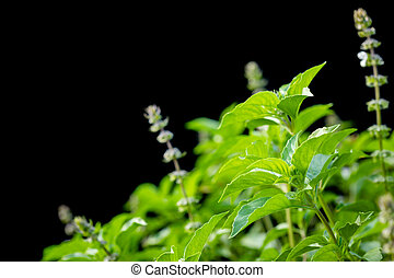 nebo, makro, chlupatý, strom, osamocený, svatý, čerň, thai basil, mladický list, květ