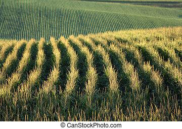 cornfield north of Schuyler, Nebraska