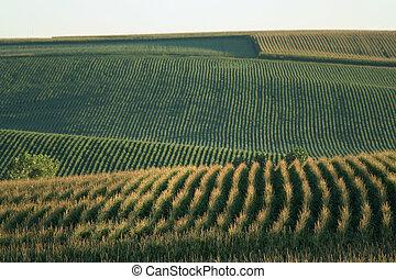Nebraska Cornfield - cornfield on the rolling hills north of...