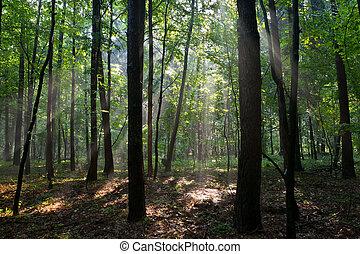 nebuloso, floresta, jovem, manhã
