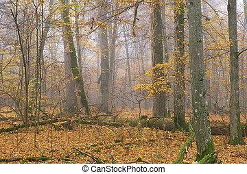 nebuloso, manhã, floresta, outonal
