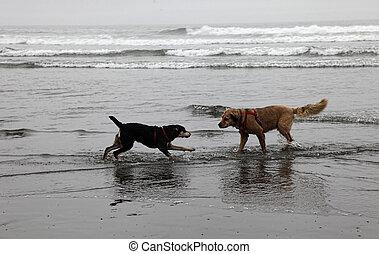 nebuloso, praia, cachorros, tocando