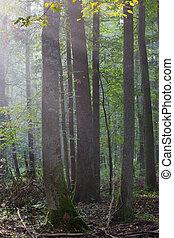 nebuloso, verão, floresta, manhã
