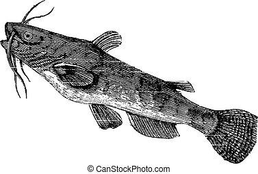 nebulosus, ameiurus, bullhead, brun, vendange, ou, engraving.