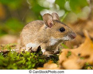 necked, ratón, amarillo, habitat