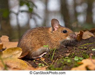 necked, ratón, bosque, amarillo, piso