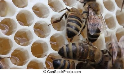 Nectar and honey in new comb - Bees nectar poured into new...