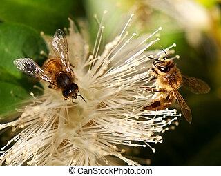 nectar, printemps, abeille ouvrier, rassembler, abeilles