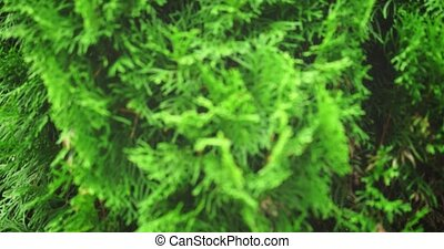 Thuja tree, growing in its natural habitat, with its typical flat, coarse, scale like leaves, in closeup.