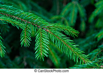 Needles. fir-needle
