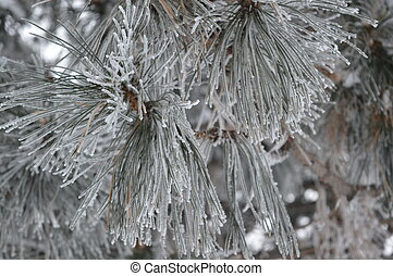 Needles in snow (Canadian Winter)