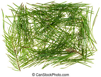 Needles of coniferous trees
