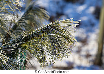 Needles of pine branches covered with Frost